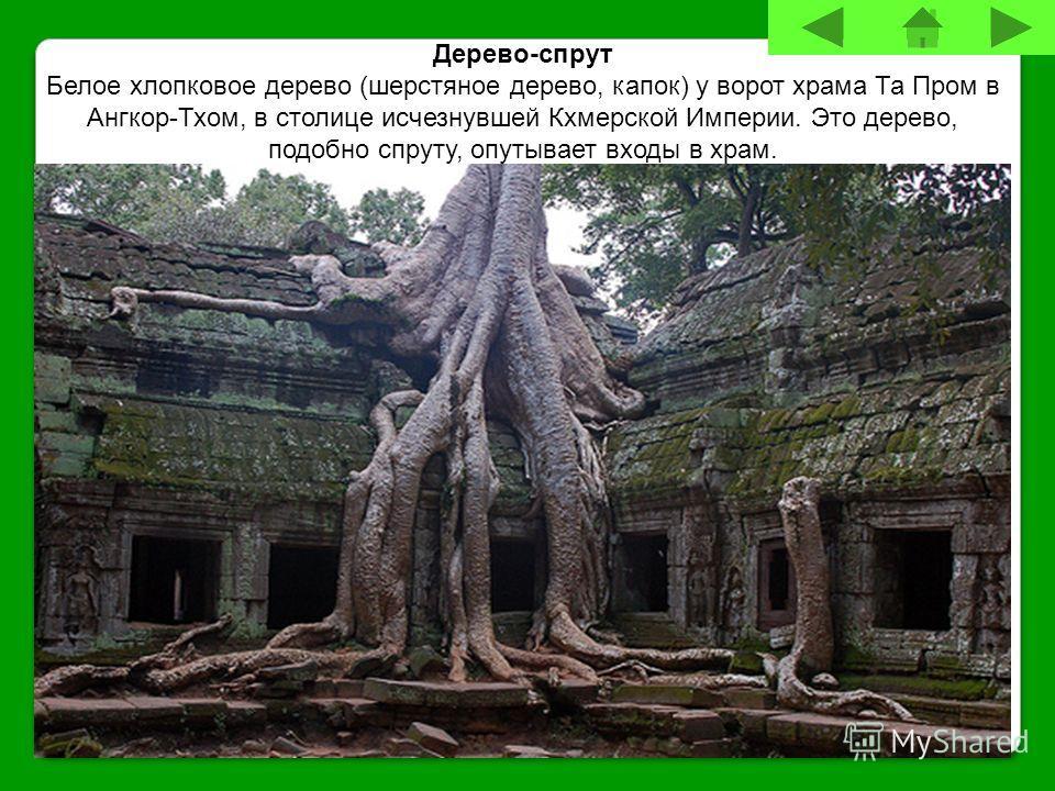 Дерево-спрут Белое хлопковое дерево (шерстяное дерево, капок) у ворот храма Та Пром в Ангкор-Тхом, в столице исчезнувшей Кхмерской Империи. Это дерево, подобно спруту, опутывает входы в храм.