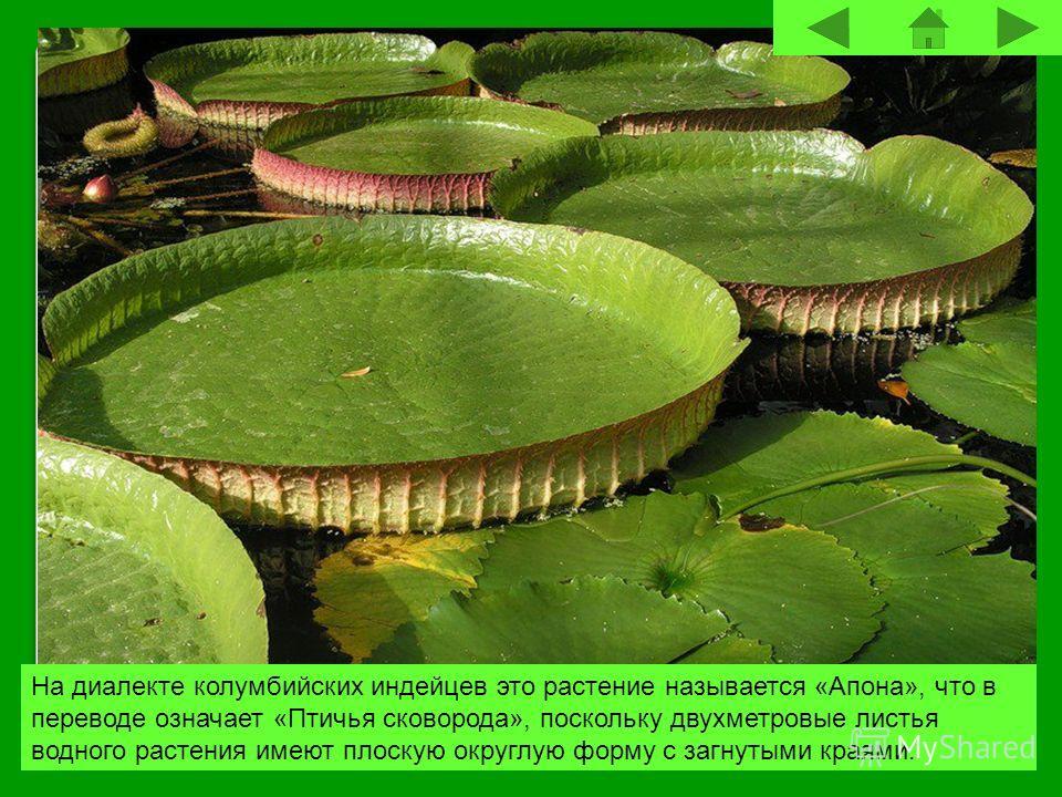 На диалекте колумбийских индейцев это растение называется «Апона», что в переводе означает «Птичья сковорода», поскольку двухметровые листья водного растения имеют плоскую округлую форму с загнутыми краями.