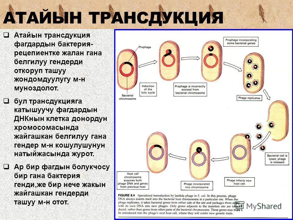 Атайын трансдукция фагдардын бактерия- рецепиентке жалан гана белгилуу гендерди откоруп ташуу жондомдуулугу м-н муноздолот. бул трансдукцияга катышуучу фагдардын ДНКнын клетка донордун хромосомасында жайгашкан белгилуу гана гендер м-н кошулушунун нат