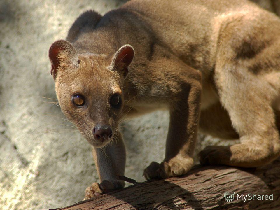 Также на Мадагаскаре обитает фосса - хищное млекопитающее из семейства мадагаскарских хищников. Внешне она несколько напоминает ягуарунди или мелкую пуму и длительное время причислялась к семейству кошачьих.