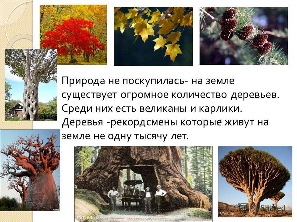 Природа не поскупилась - на земле существует огромное количество деревьев. Среди них есть великаны и карлики. Деревья - рекордсмены которые живут на земле не одну тысячу лет.