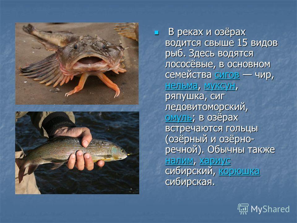 В реках и озёрах водится свыше 15 видов рыб. Здесь водятся лососёвые, в основном семейства сигов чир, нельма, муксун, ряпушка, сиг ледовитоморский, омуль; в озёрах встречаются гольцы (озёрный и озёрно- речной). Обычны также налим, хариус сибирский, к
