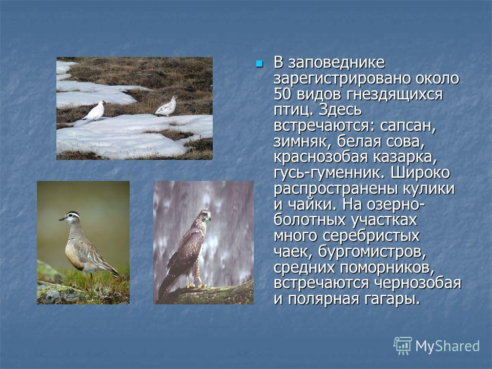 В заповеднике зарегистрировано около 50 видов гнездящихся птиц. Здесь встречаются: сапсан, зимняк, белая сова, краснозобая казарка, гусь-гуменник. Широко распространены кулики и чайки. На озерно- болотных участках много серебристых чаек, бургомистров