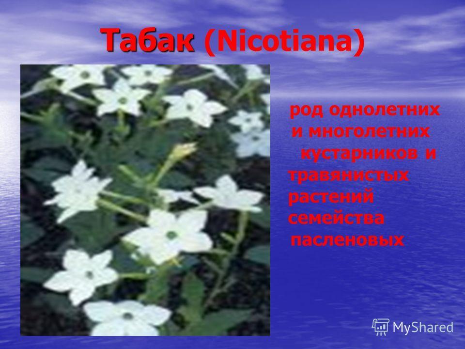 Табак Табак (Nicotiana) род однолетних и многолетних кустарников и травянистых растений семейства пасленовых