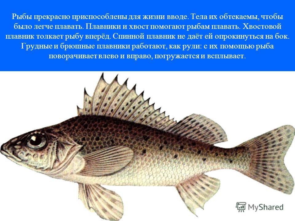 Рыбы прекрасно приспособлены для жизни вводе. Тела их обтекаемы, чтобы было легче плавать. Плавники и хвост помогают рыбам плавать. Хвостовой плавник толкает рыбу вперёд. Спинной плавник не даёт ей опрокинуться на бок. Грудные и брюшные плавники рабо