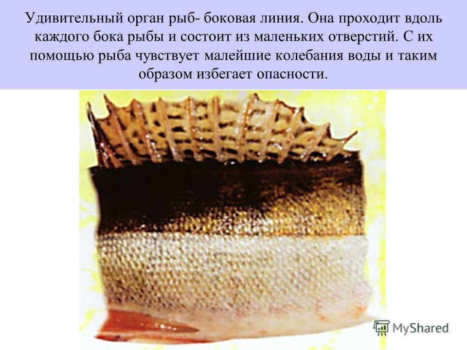 Удивительный орган рыб- боковая линия. Она проходит вдоль каждого бока рыбы и состоит из маленьких отверстий. С их помощью рыба чувствует малейшие колебания воды и таким образом избегает опасности.