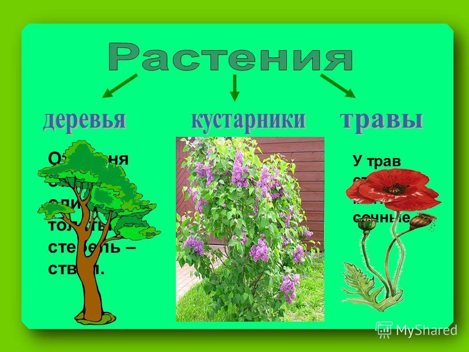 От корня отходит один толстый стебель – ствол. От корня отходит несколько довольно тоненьких стеблей – стволиков. У трав стебли мягкие, сочные.