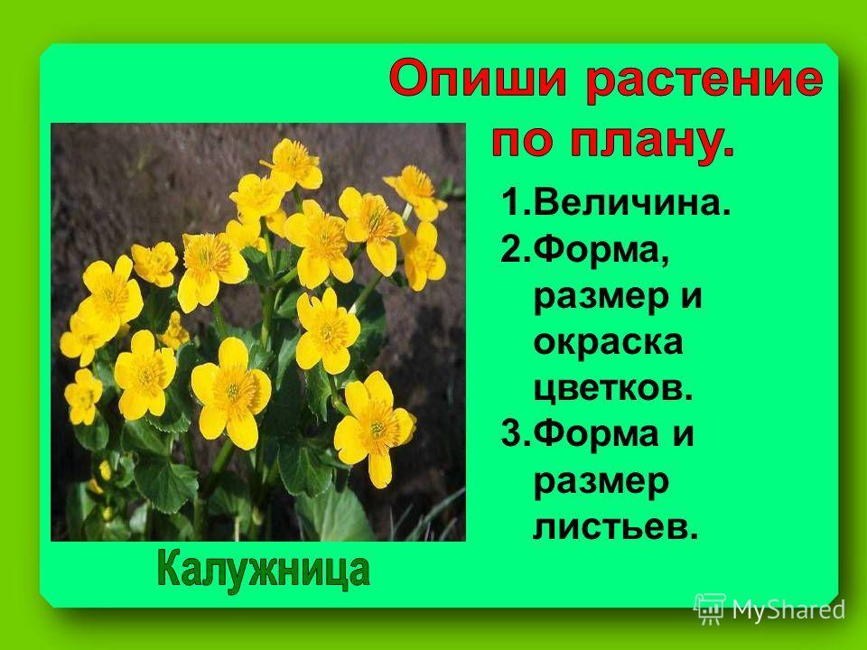 1.Величина. 2.Форма, размер и окраска цветков. 3.Форма и размер листьев.