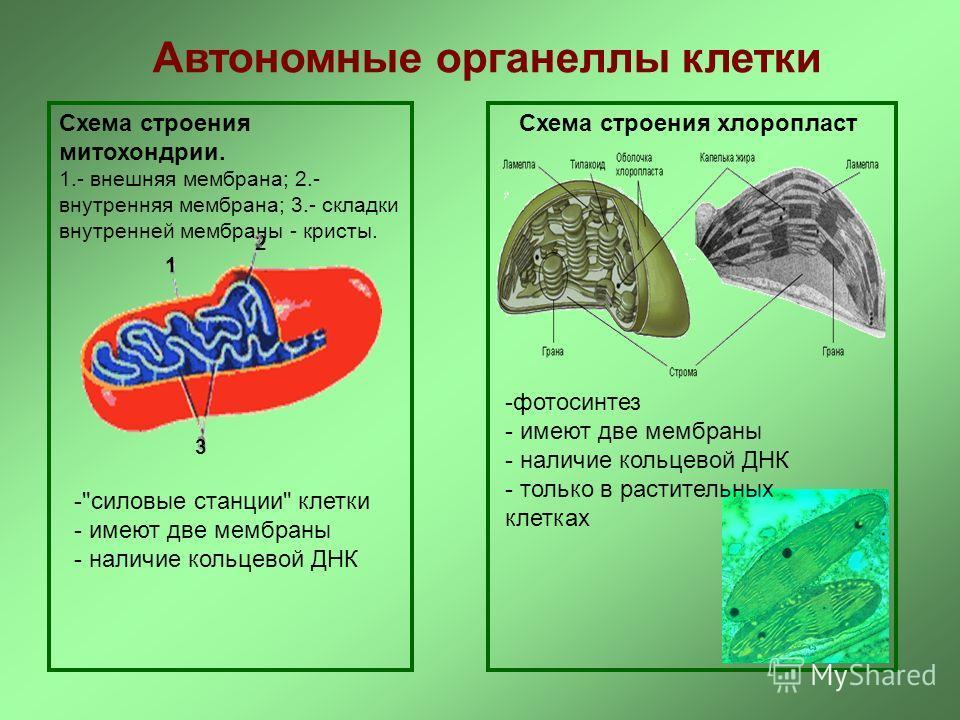 Автономные органеллы клетки Схема строения митохондрии. 1.- внешняя мембрана; 2.- внутренняя мембрана; 3.- складки внутренней мембраны - кристы. 2 1 3 -