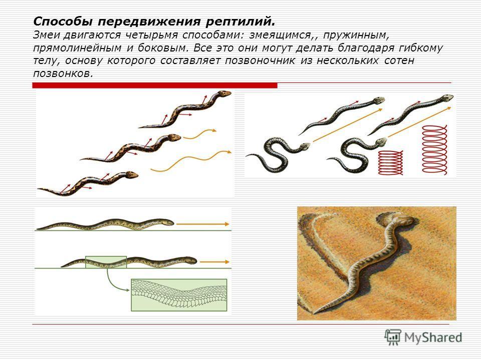 Бесхвостые плавают «брассом», одновременно отталкиваясь от воды задними конечностями с перепонками между пальцами. Шпорцевая лягушка Живущие на деревьях лягушки хорошо лазают, обхватывая стебли длинными гибкими пальцами с липкими дисками на концах. О