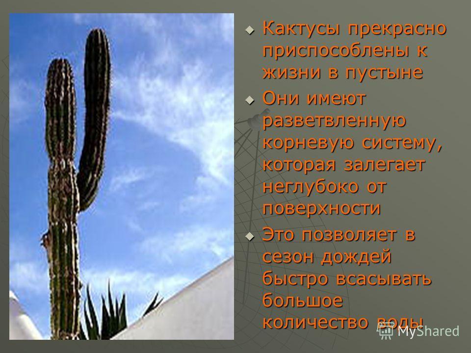 Кактусы прекрасно приспособлены к жизни в пустыне Кактусы прекрасно приспособлены к жизни в пустыне Они имеют разветвленную корневую систему, которая залегает неглубоко от поверхности Они имеют разветвленную корневую систему, которая залегает неглубо