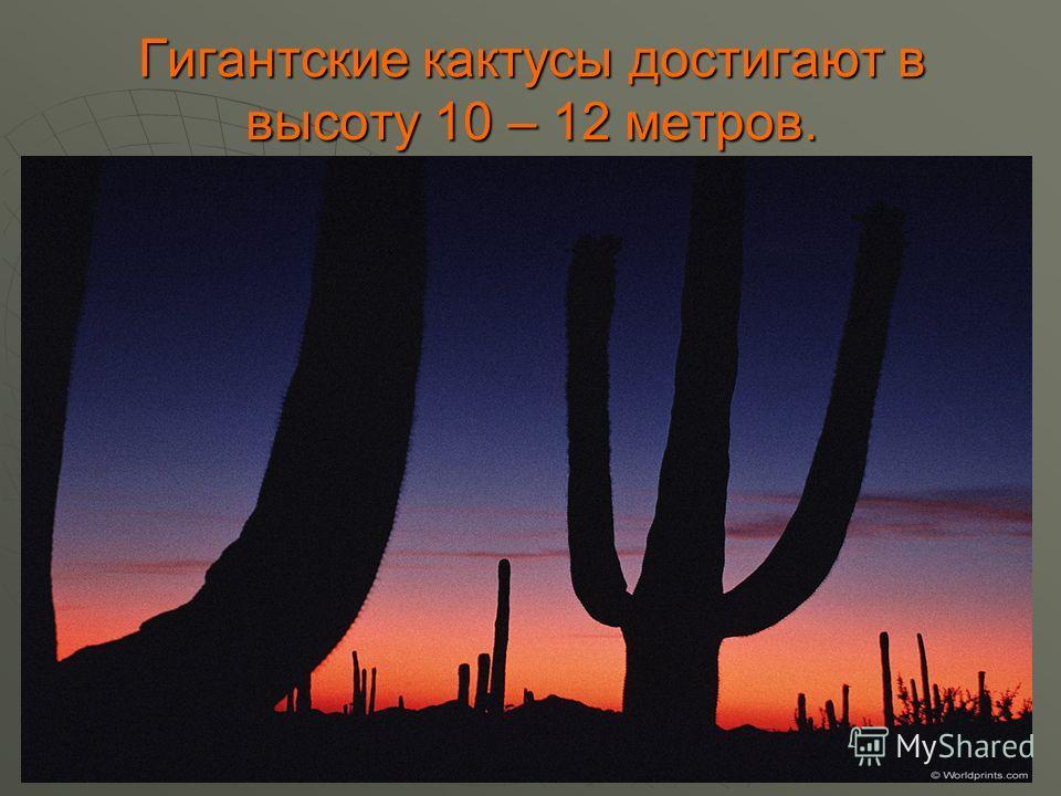 Гигантские кактусы достигают в высоту 10 – 12 метров.