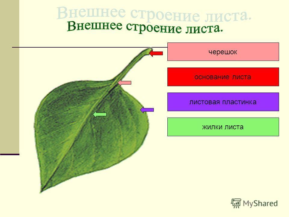 черешок жилки листа листовая пластинка основание листа