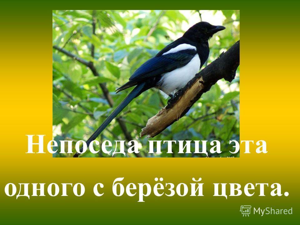 Непоседа птица эта одного с берёзой цвета.