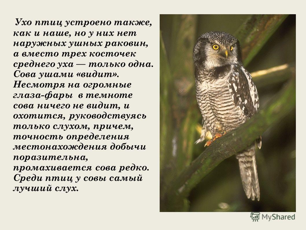 Ухо птиц устроено также, как и наше, но у них нет наружных ушных раковин, а вместо трех косточек среднего уха только одна. Сова ушами «видит». Несмотря на огромные глаза-фары в темноте сова ничего не видит, и охотится, руководствуясь только слухом, п
