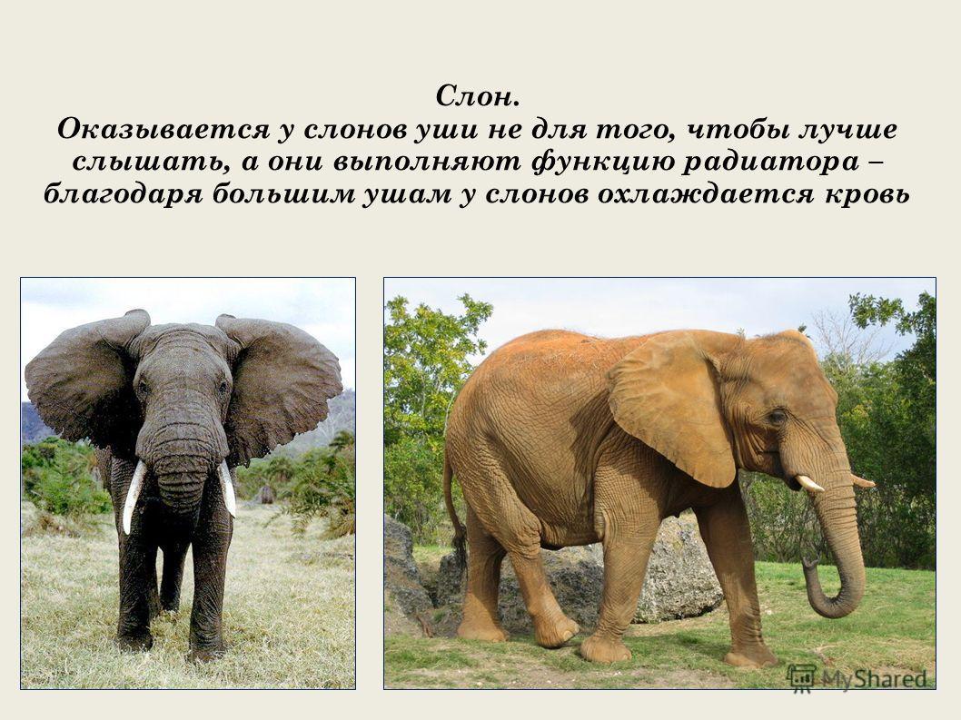 Слон. Оказывается у слонов уши не для того, чтобы лучше слышать, а они выполняют функцию радиатора – благодаря большим ушам у слонов охлаждается кровь