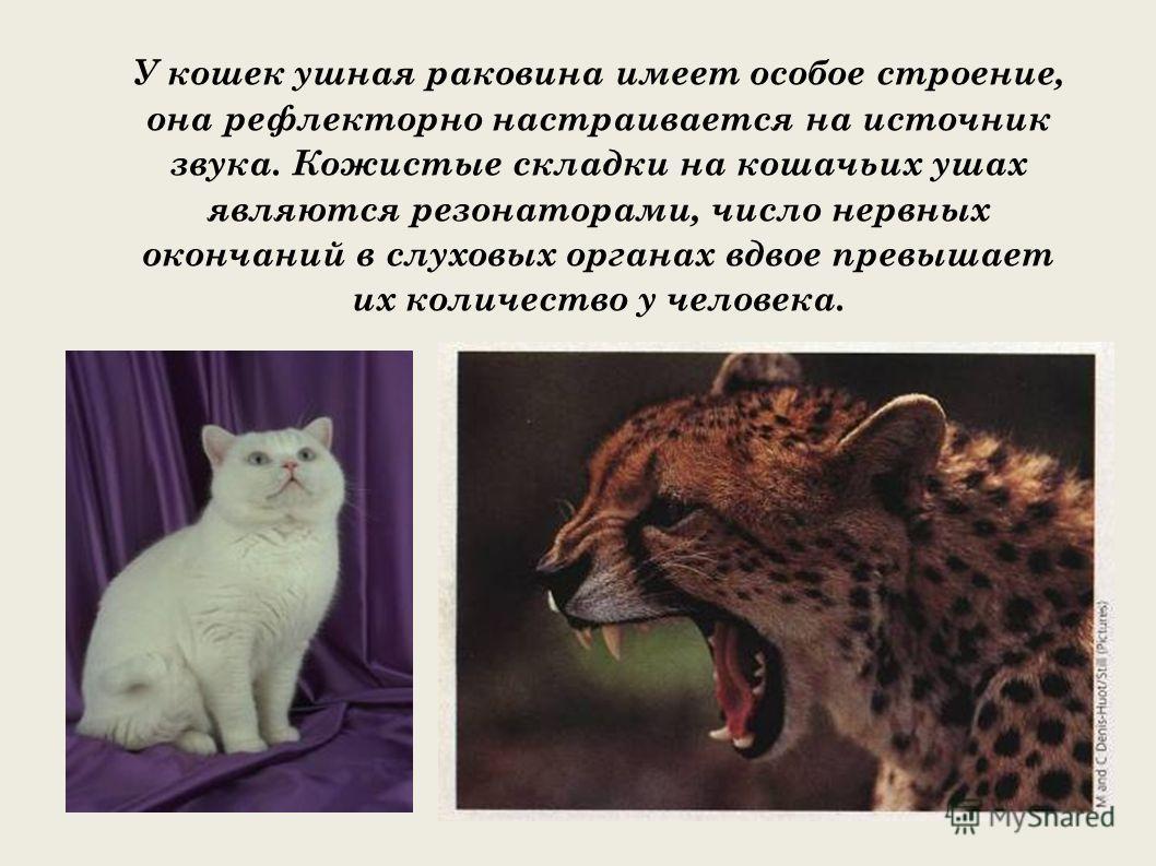 У кошек ушная раковина имеет особое строение, она рефлекторно настраивается на источник звука. Кожистые складки на кошачьих ушах являются резонаторами, число нервных окончаний в слуховых органах вдвое превышает их количество у человека.