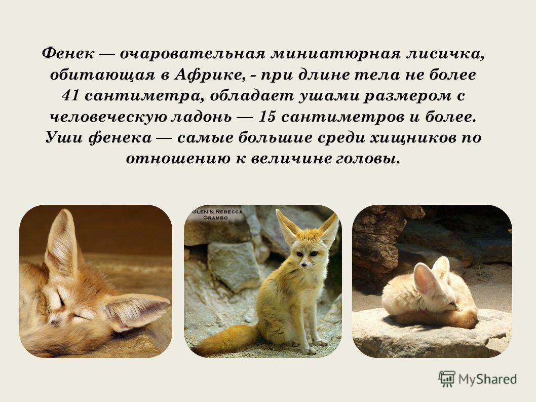 Фенек очаровательная миниатюрная лисичка, обитающая в Африке, - при длине тела не более 41 сантиметра, обладает ушами размером с человеческую ладонь 15 сантиметров и более. Уши фенека самые большие среди хищников по отношению к величине головы.