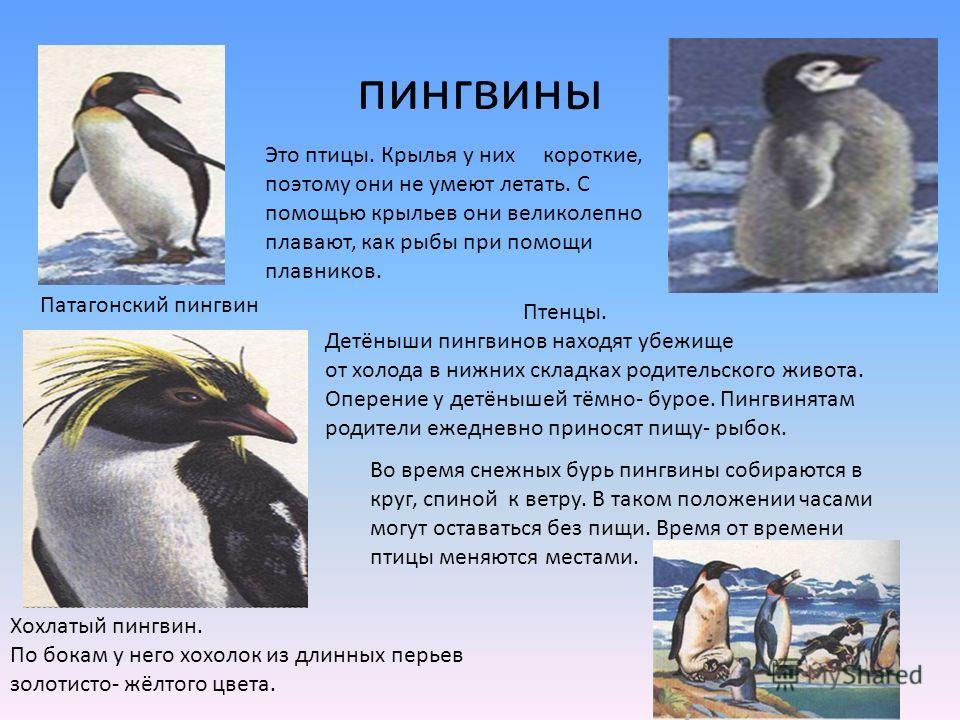 пингвины Это птицы. Крылья у них короткие, поэтому они не умеют летать. С помощью крыльев они великолепно плавают, как рыбы при помощи плавников. Патагонский пингвин Птенцы. Детёныши пингвинов находят убежище от холода в нижних складках родительского