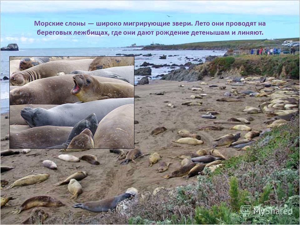 Морские слоны широко мигрирующие звери. Лето они проводят на береговых лежбищах, где они дают рождение детенышам и линяют.