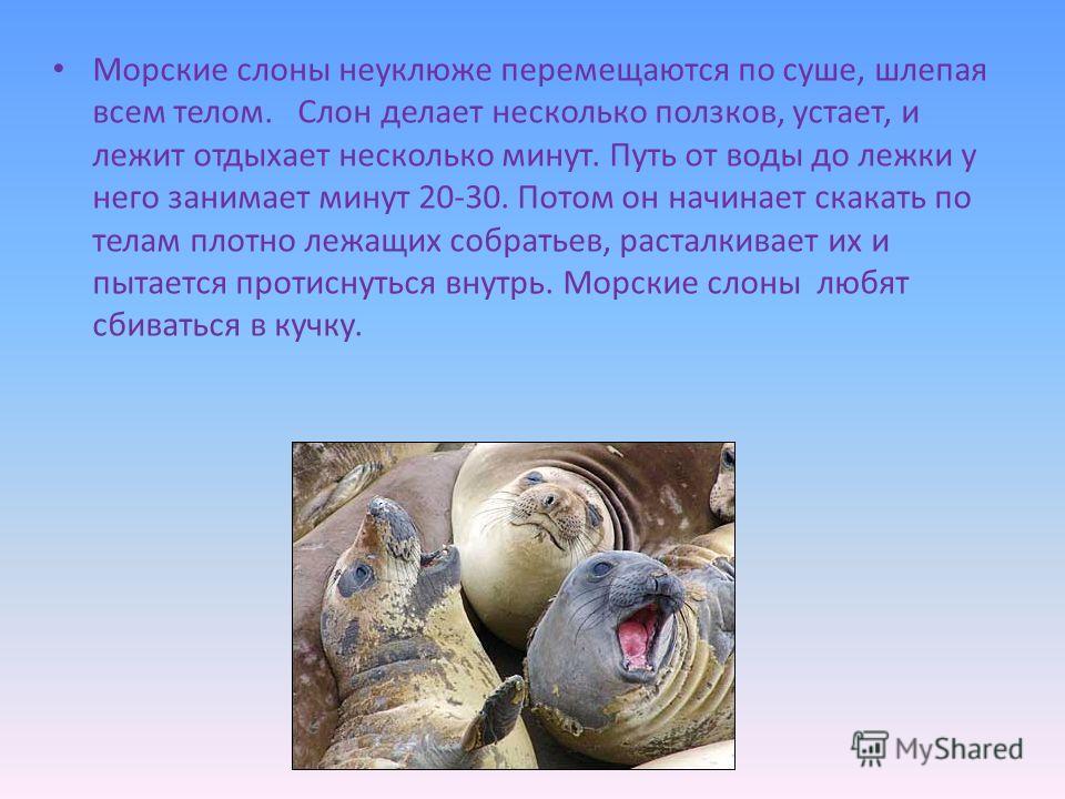 Морские слоны неуклюже перемещаются по суше, шлепая всем телом. Слон делает несколько ползков, устает, и лежит отдыхает несколько минут. Путь от воды до лежки у него занимает минут 20-30. Потом он начинает скакать по телам плотно лежащих собратьев, р