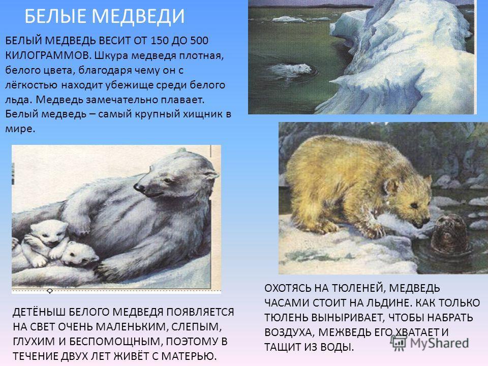 БЕЛЫЕ МЕДВЕДИ БЕЛЫЙ МЕДВЕДЬ ВЕСИТ ОТ 150 ДО 500 КИЛОГРАММОВ. Шкура медведя плотная, белого цвета, благодаря чему он с лёгкостью находит убежище среди белого льда. Медведь замечательно плавает. Белый медведь – самый крупный хищник в мире. ОХОТЯСЬ НА Т