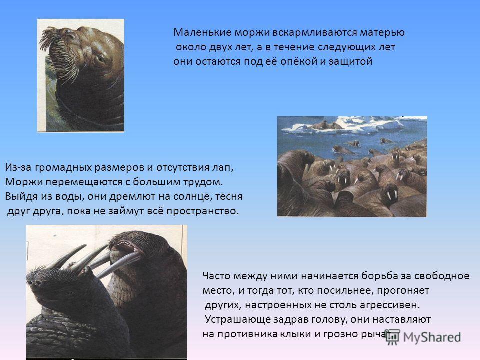 Маленькие моржи вскармливаются матерью около двух лет, а в течение следующих лет они остаются под её опёкой и защитой Из-за громадных размеров и отсутствия лап, Моржи перемещаются с большим трудом. Выйдя из воды, они дремлют на солнце, тесня друг дру