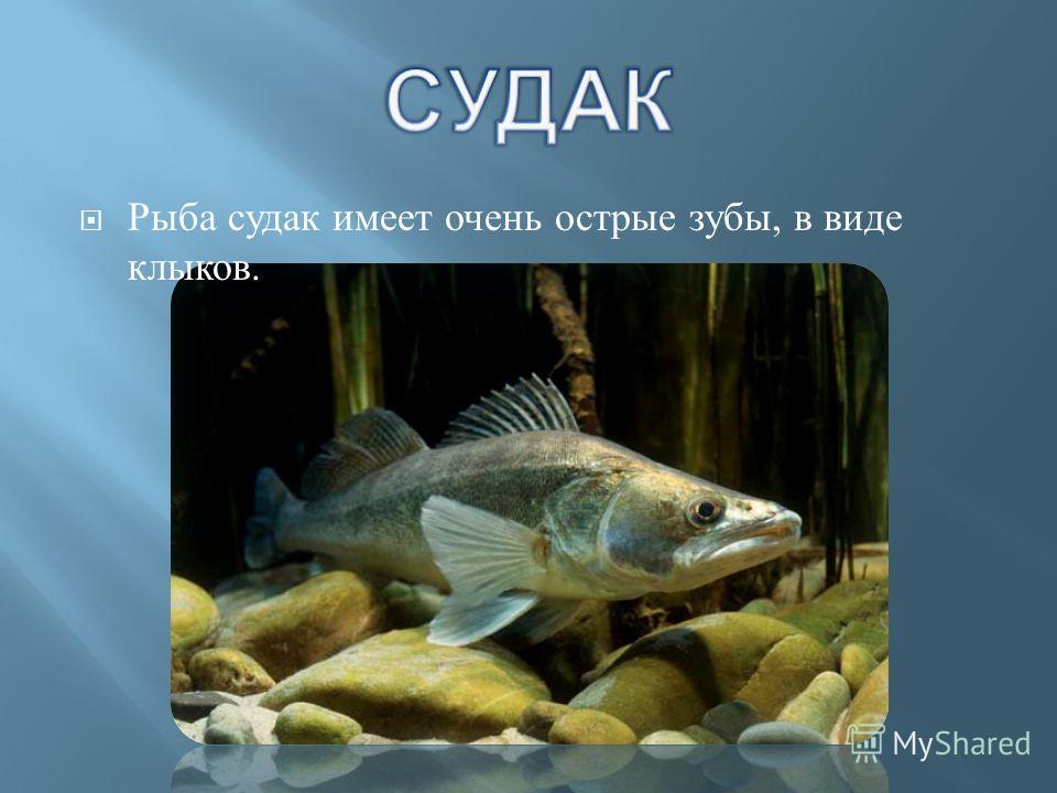 Рыба судак имеет очень острые зубы, в виде клыков.