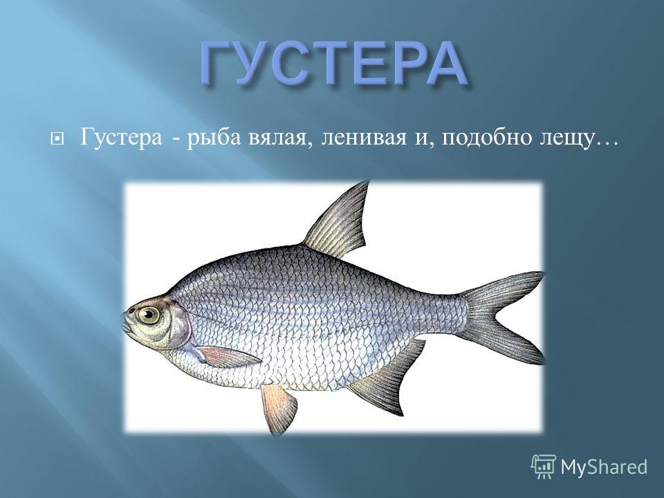 Густера - рыба вялая, ленивая и, подобно лещу …