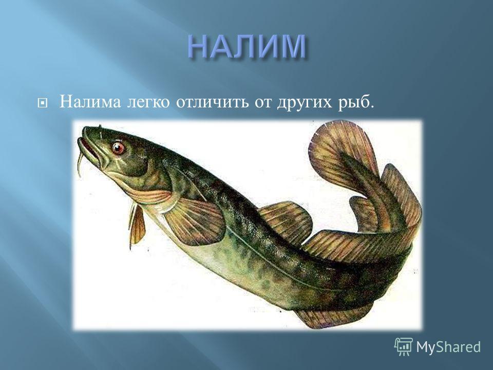 Налима легко отличить от других рыб.