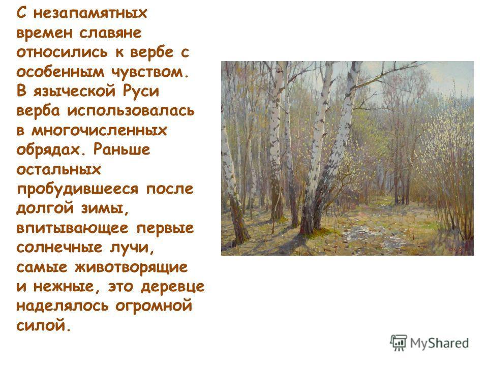 С незапамятных времен славяне относились к вербе с особенным чувством. В языческой Руси верба использовалась в многочисленных обрядах. Раньше остальных пробудившееся после долгой зимы, впитывающее первые солнечные лучи, самые животворящие и нежные, э