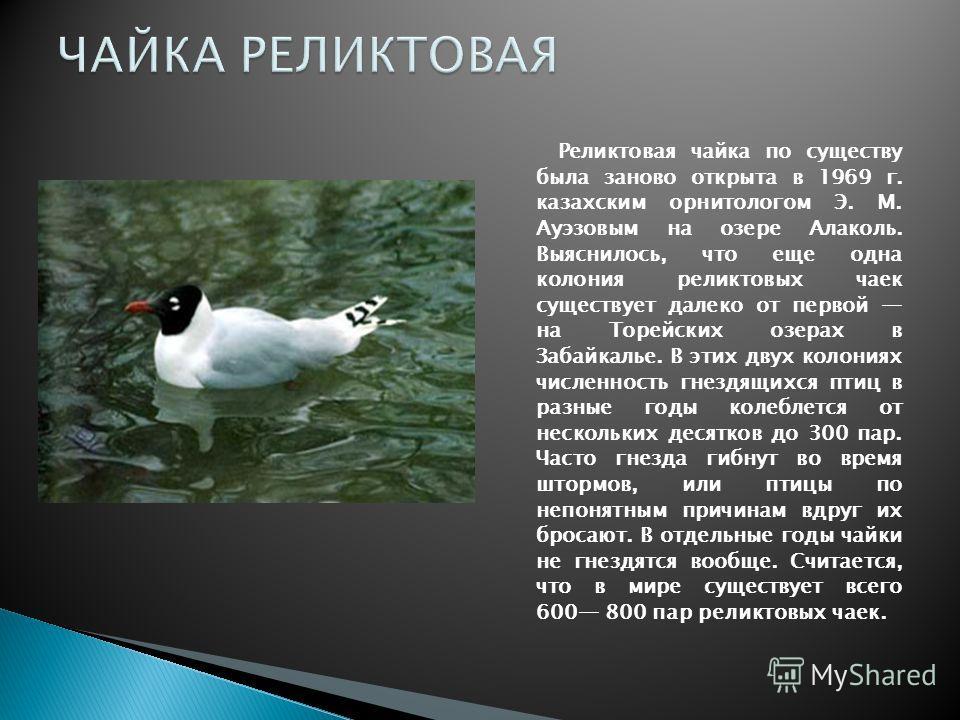 Реликтовая чайка по существу была заново открыта в 1969 г. казахским орнитологом Э. М. Ауэзовым на озере Алаколь. Выяснилось, что еще одна колония реликтовых чаек существует далеко от первой на Торейских озерах в Забайкалье. В этих двух колониях числ