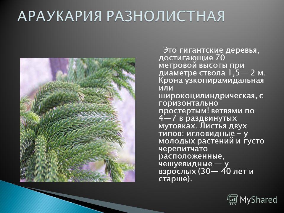 Это гигантские деревья, достигающие 70- метровой высоты при диаметре ствола 1,5 2 м. Крона узкопирамидальная или широкоцилиндрическая, с горизонтально простертым! ветвями по 47 в раздвинутых мутовках. Листья двух типов: игловидные - у молодых растени