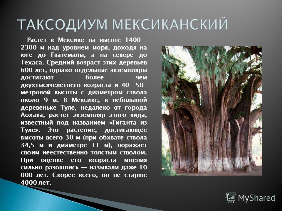Растет в Мексике на высоте 1400 2300 м над уровнем моря, доходя на юге до Гватемалы, а на севере до Техаса. Средний возраст этих деревьев 600 лет, однако отдельные экземпляры достигают более чем двухтысячелетнего возраста и 4050- метровой высоты с ди