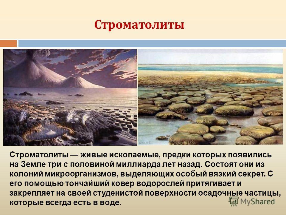 Строматолиты живые ископаемые, предки которых появились на Земле три с половиной миллиарда лет назад. Состоят они из колоний микроорганизмов, выделяющих особый вязкий секрет. С его помощью тончайший ковер водорослей притягивает и закрепляет на своей