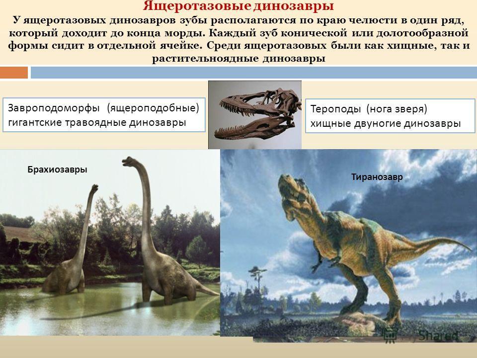 Ящеротазовые динозавры У ящеротазовых динозавров зубы располагаются по краю челюсти в один ряд, который доходит до конца морды. Каждый зуб конической или долотообразной формы сидит в отдельной ячейке. Среди ящеротазовых были как хищные, так и растите