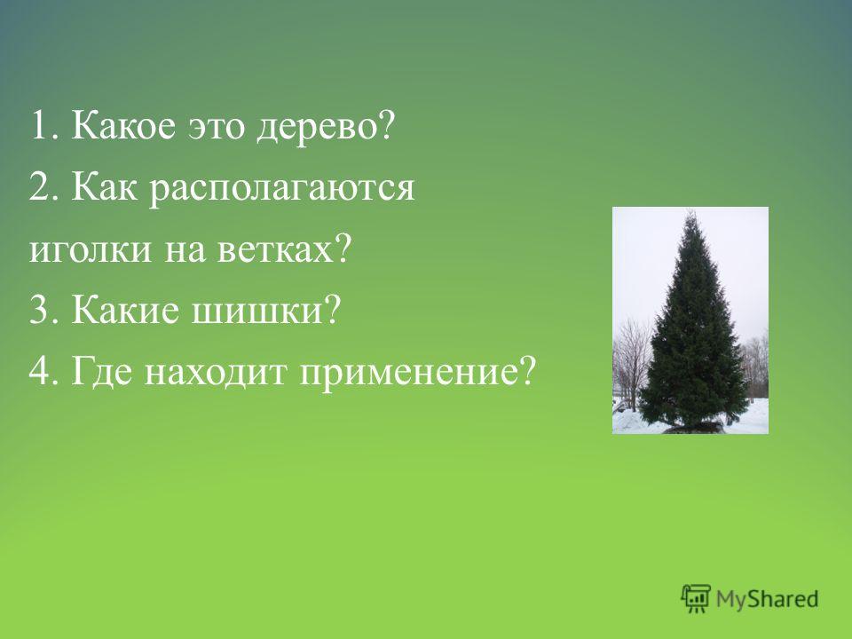 1. Какое это дерево? 2. Как располагаются иголки на ветках? 3. Какие шишки? 4. Где находит применение?