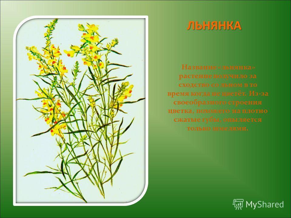 ЛЬНЯНКА Название «льнянка» растение получило за сходство со льном в то время когда не цветёт. Из-за своеобразного строения цветка, похожего на плотно сжатые губы, опыляется только шмелями.