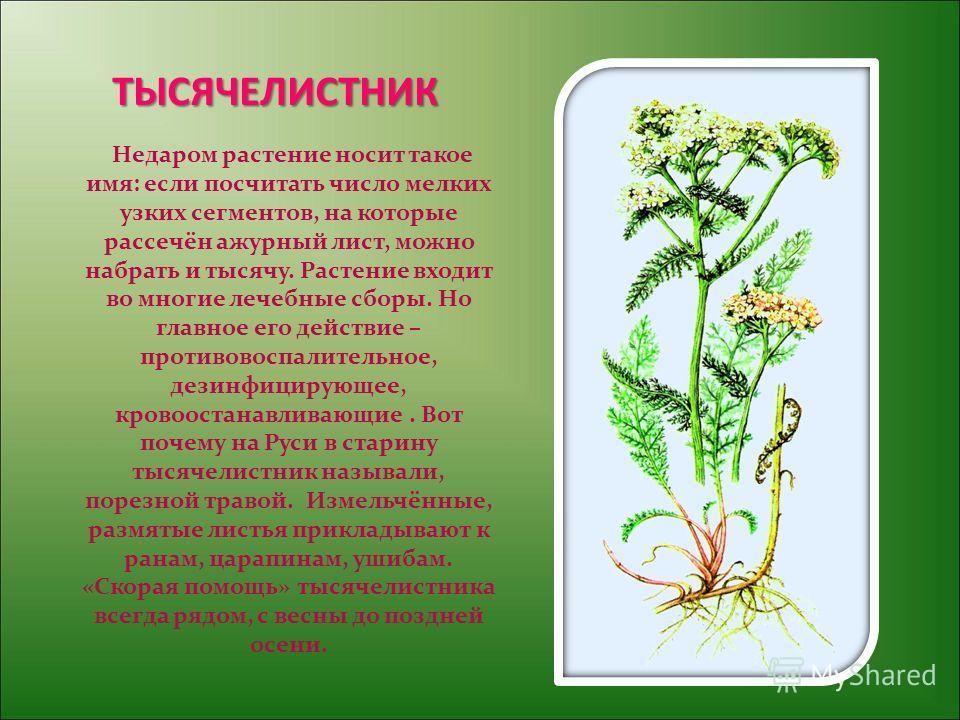 ТЫСЯЧЕЛИСТНИК Недаром растение носит такое имя: если посчитать число мелких узких сегментов, на которые рассечён ажурный лист, можно набрать и тысячу. Растение входит во многие лечебные сборы. Но главное его действие – противовоспалительное, дезинфиц