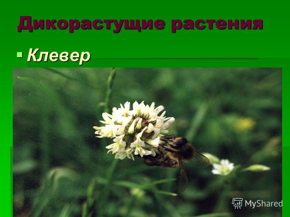 Дикорастущие растения Клевер Клевер