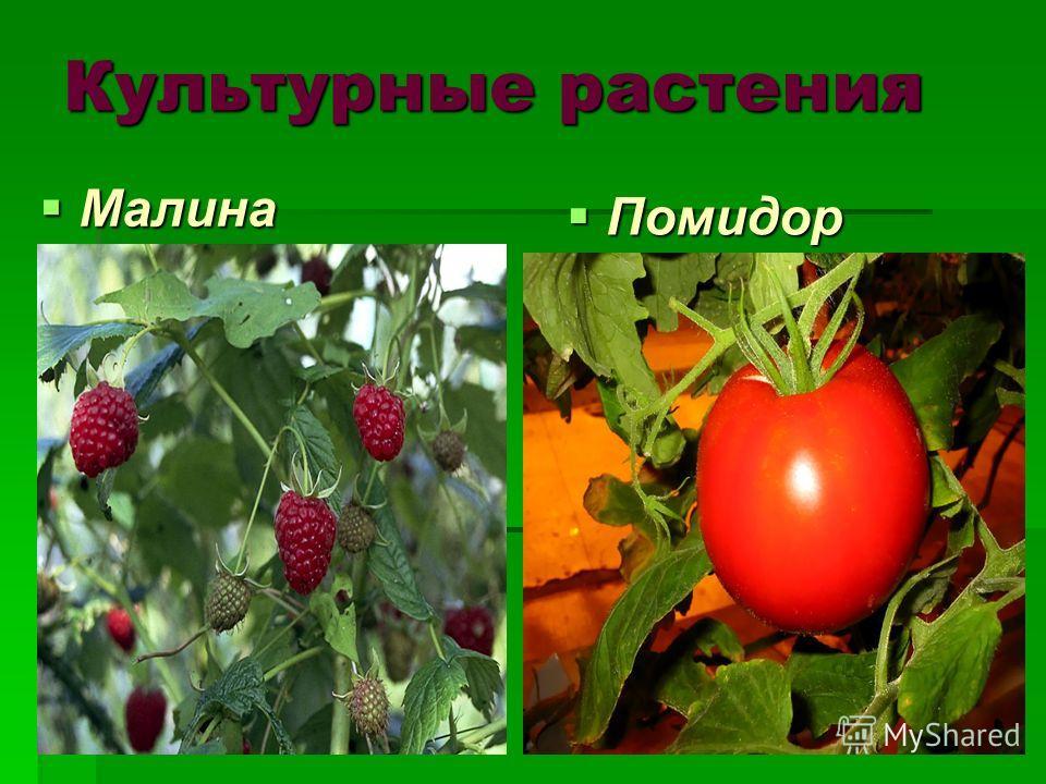 Культурные растения Малина Малина Помидор Помидор