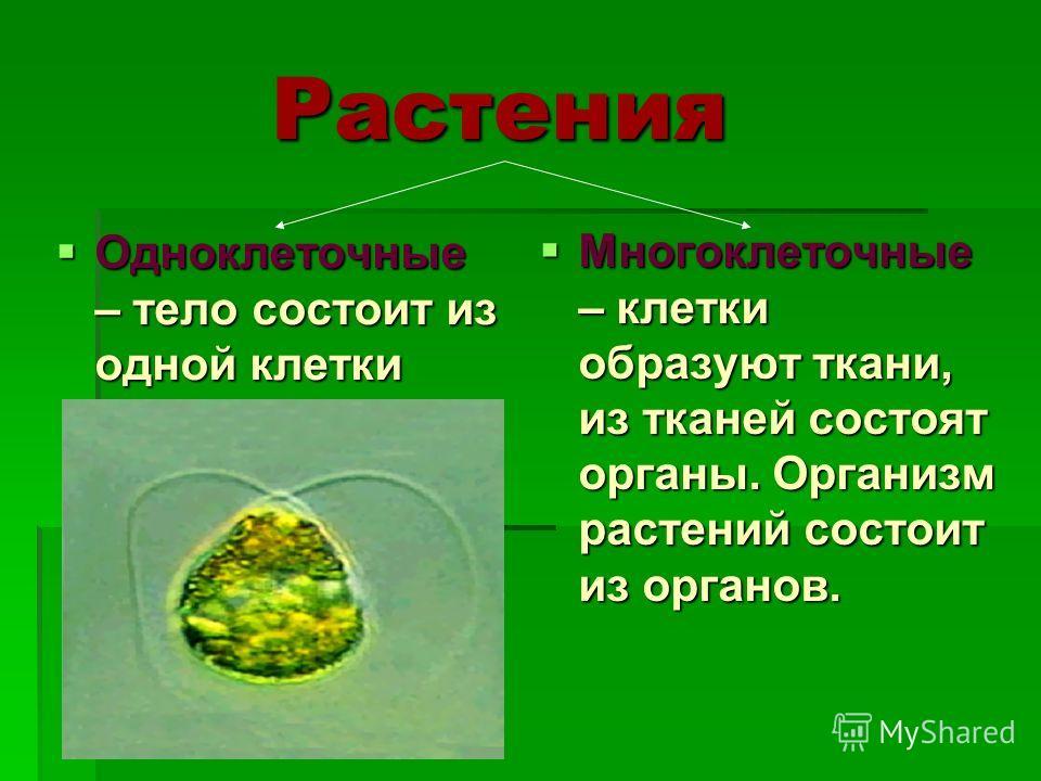 Растения Одноклеточные – тело состоит из одной клетки Одноклеточные – тело состоит из одной клетки Многоклеточные – клетки образуют ткани, из тканей состоят органы. Организм растений состоит из органов. Многоклеточные – клетки образуют ткани, из ткан