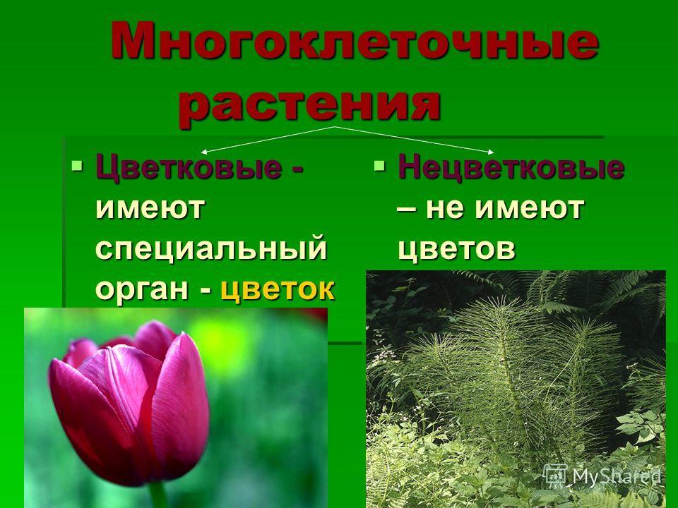 Многоклеточные растения Цветковые - имеют специальный орган - цветок Цветковые - имеют специальный орган - цветок Нецветковые – не имеют цветов Нецветковые – не имеют цветов