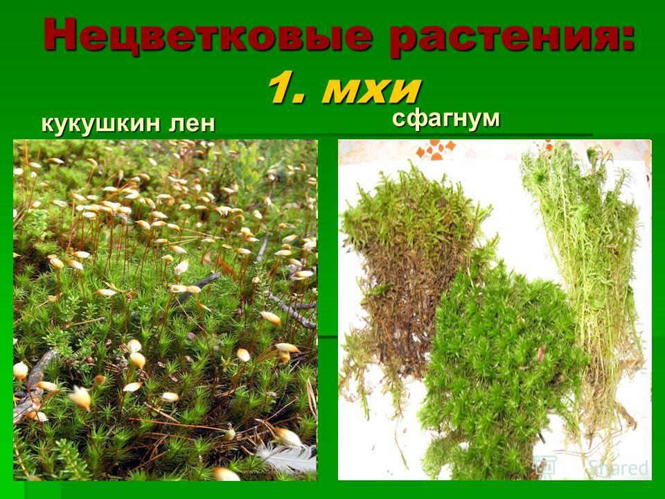 Нецветковые растения: 1. мхи кукушкин лен сфагнум