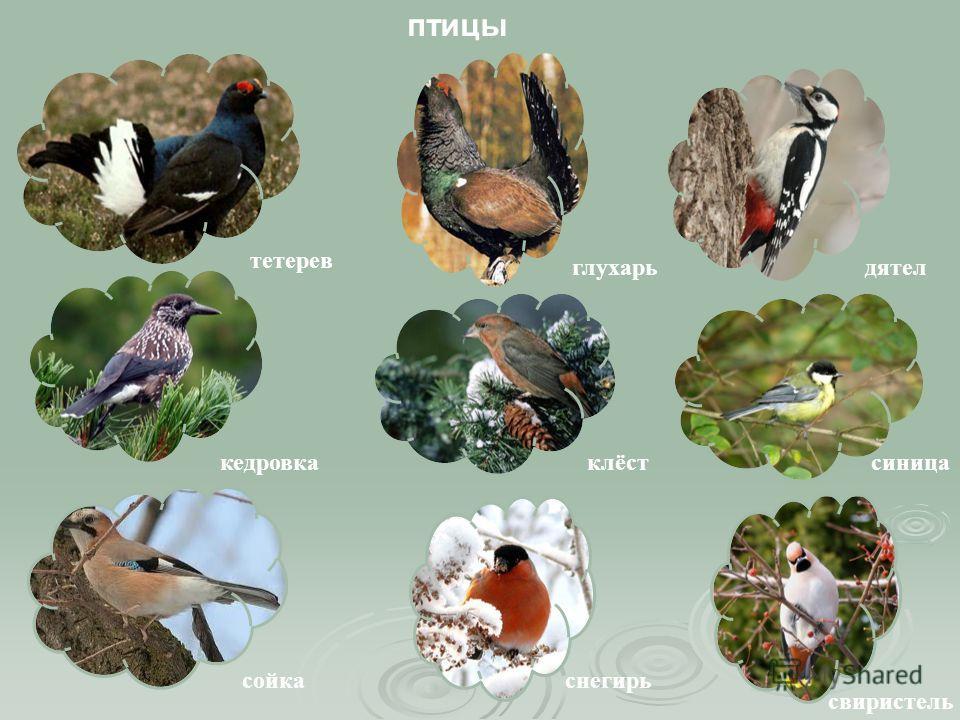 птицы тетерев глухарьдятел кедровкаклёстсиница сойкаснегирь свиристель