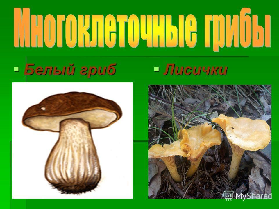 Белый гриб Белый гриб Лисички Лисички
