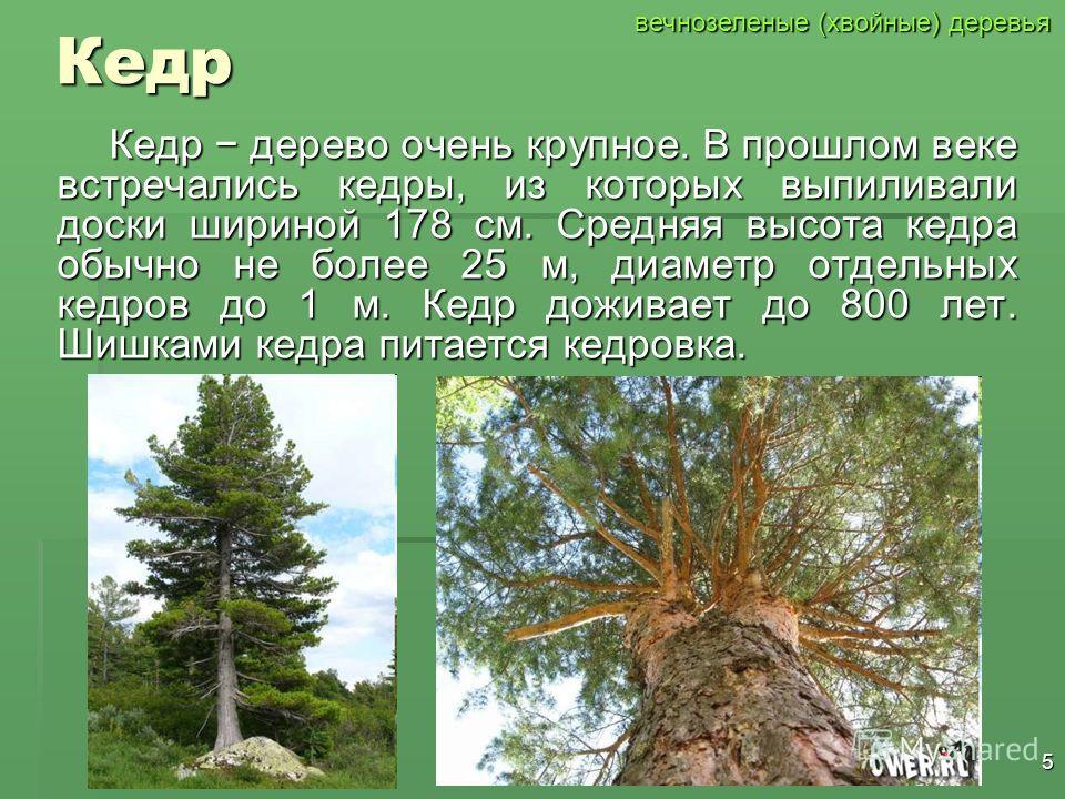 4Ель Ель может достигнуть высоты 50 метров и дожить до 300 лет, имеет конусовидную крону. Еловыми шишками питается клёст. Ель является одним из главных символов Нового года и Рождества. вечнозеленые (хвойные) деревья