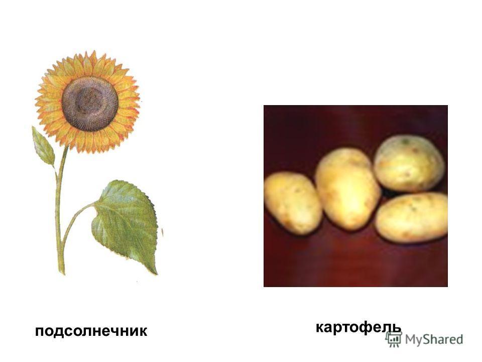 картофель подсолнечник