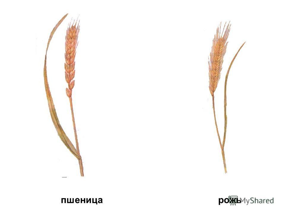 пшеницарожь