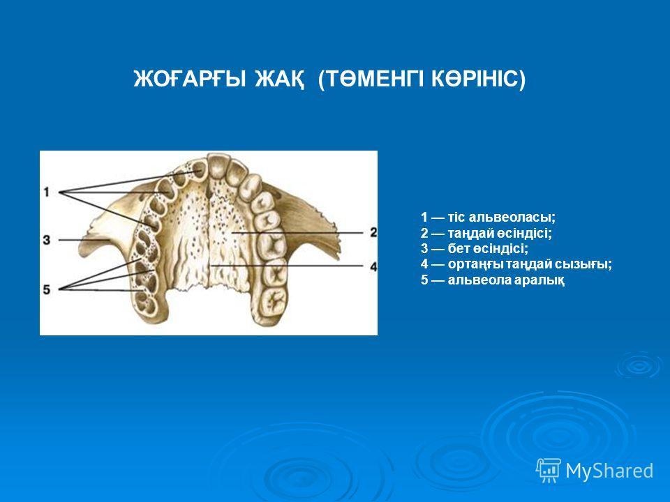 1 тіс альвеоласы; 2 таңдай өсіндісі; 3 бет өсіндісі; 4 ортаңғы таңдай сызығы; 5 альвеола аралық ЖОҒАРҒЫ ЖАҚ (ТӨМЕНГІ КӨРІНІС)